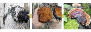 Chaga sibérien, champignon bien-être et santé naturelle