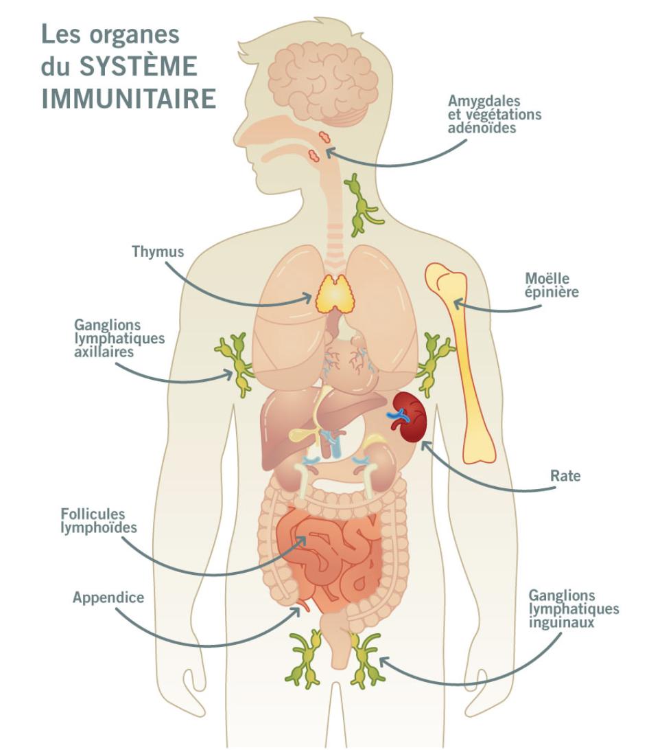 système immunitaire faible