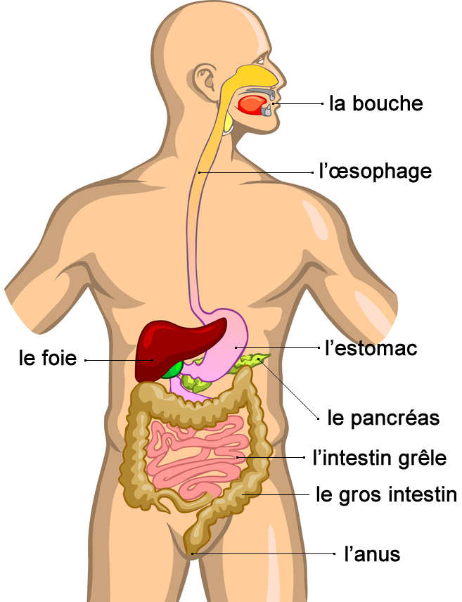 Schéma appareil digestif